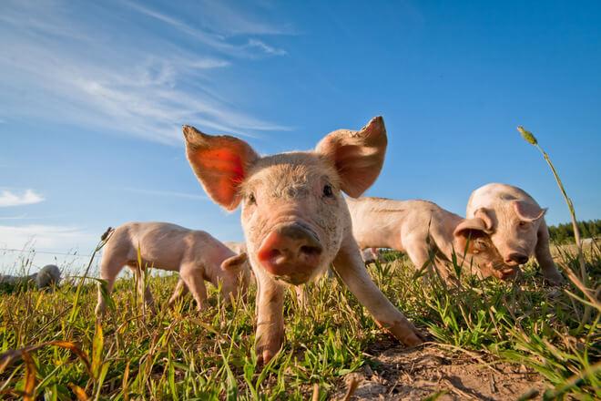 male svinje