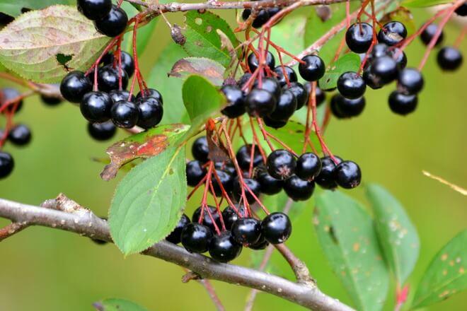 aronija zdrava biljka