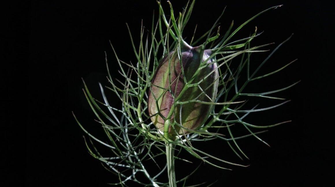 Crni kim - biljka