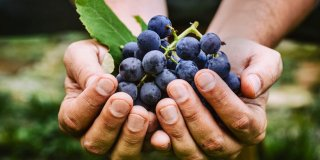 Vino i grožđe – provjerite zašto je dobro za vaše zdravlje