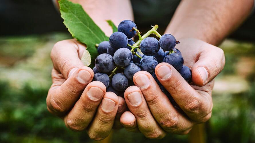 grozde i vino