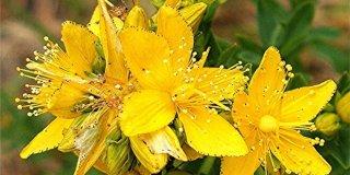 Gospina trava (kantarionovo ulje) – djelovanje, uporaba i načini primjene