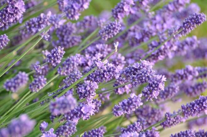 Cvjetovi-lavande