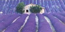Uzgajanje lavande – saveti za uspešano uzgajanje