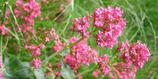 Valerijana – ljekovita svojstva i recepti za pripravke
