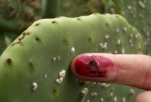 Proizvodi se od ženke insekta Dactylopius Coccus