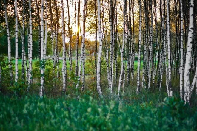 Ljekovitost breze