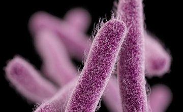 sigela bakterija