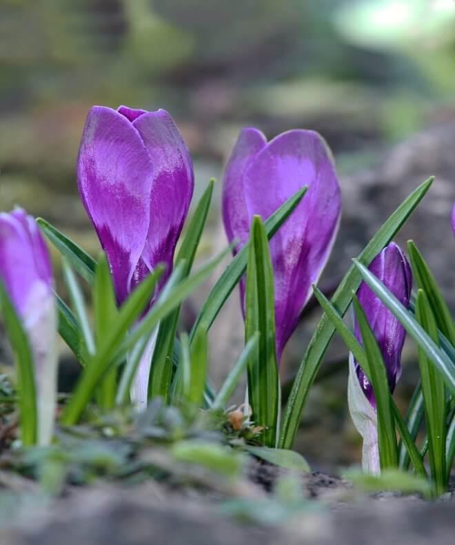 Šafran cvijet