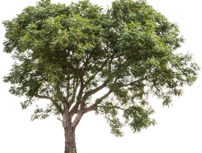 neem drvo