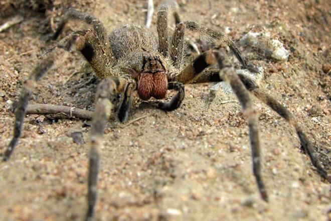 brazilski lutajuci pauk