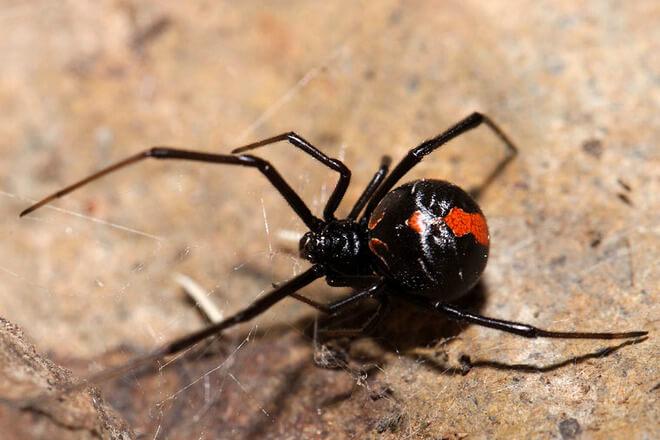 pauk crvenih leđa
