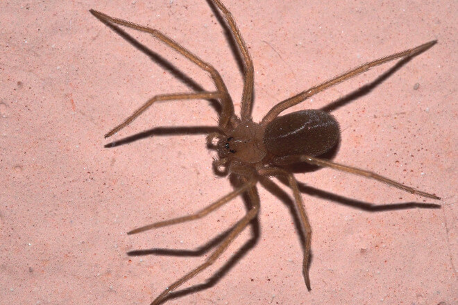 smedi pauk samotnjak