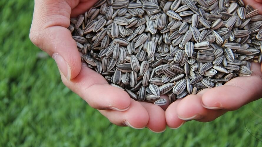 Sjemenke suncokreta – zdrave i ukusne grickalice | Kreni zdravo!