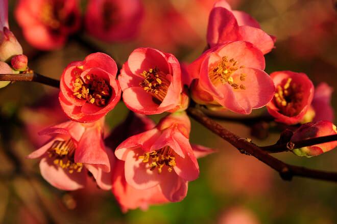ulje divlje ruze