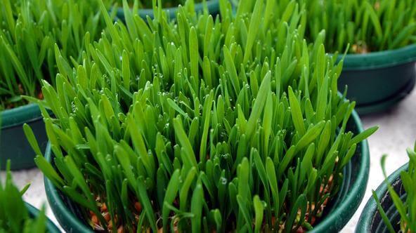 psenicna trava uzgoj