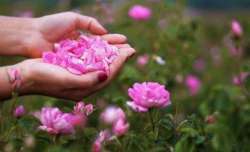 Bugarska ruža
