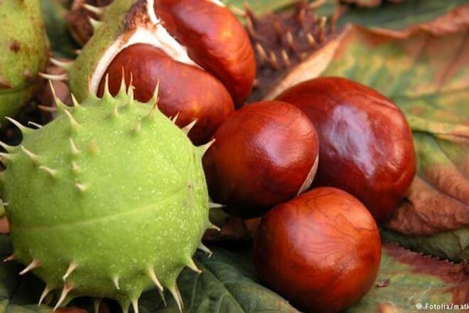 divlji kesten plod