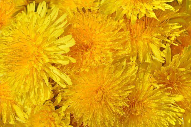 Maslačak cvijet
