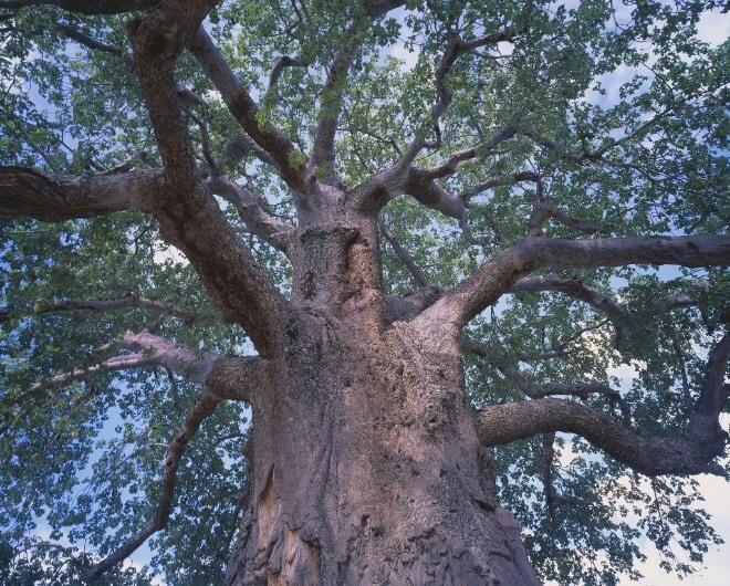 Stablo-baobab