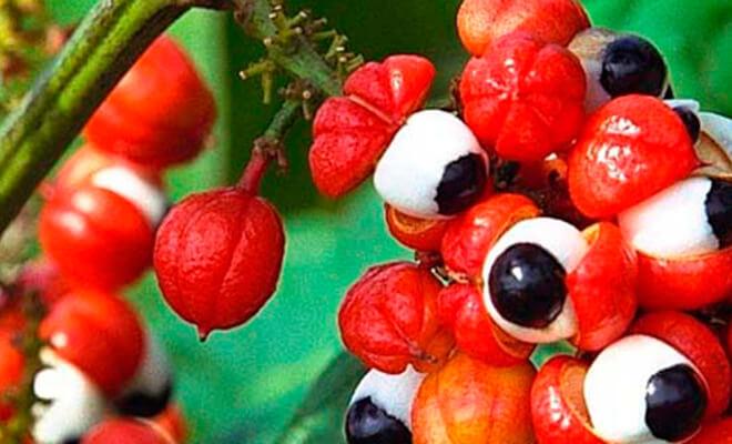 guarana plod