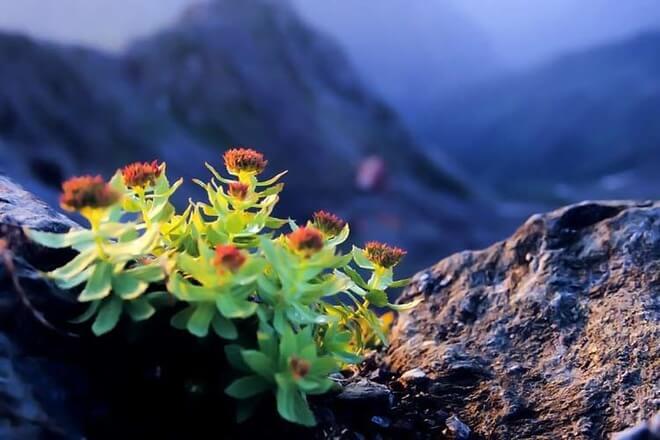 rhodiola rosea biljka