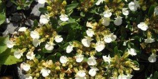 Trava Iva – ljekovita svojstva i recept za tinkturu i čaj