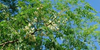 Moringa Oleifera – hranjive vrijednosti i ljekovita svojstva