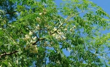 moringa oleifera naslovna