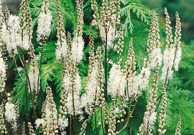 Cimicifuga-biljka