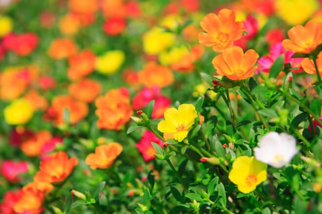 Cvjetovi portulka
