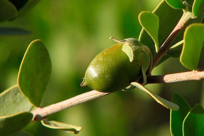 jojoba biljka