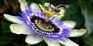 Pasiflora – prirodna pomoć kod stresa