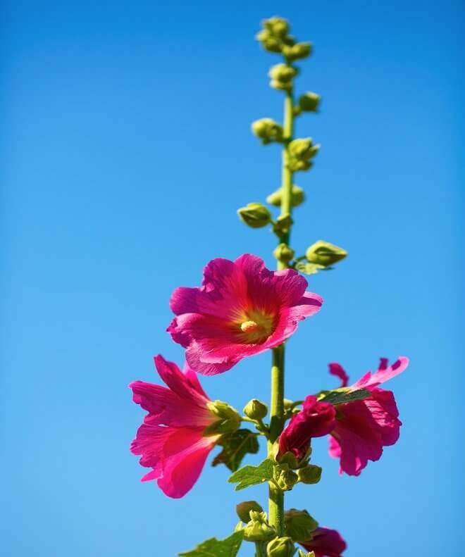 Sljez cvijet