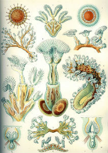 Haeckel-Bryozoa