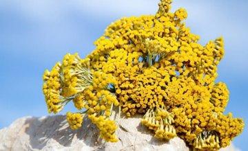 smilje-cudnovata biljka