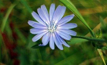 Cikorija - čudesna biljka za zdravlje cijelog organizma