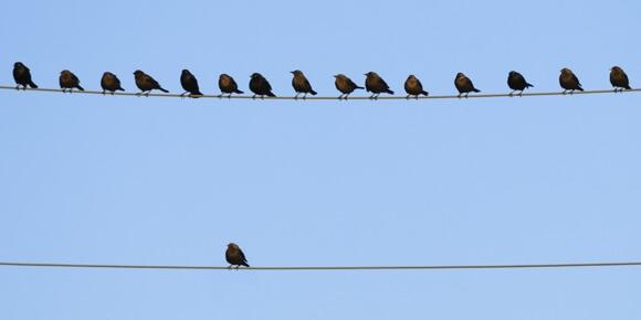ptice-na-kablovima