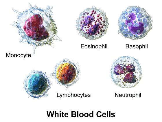 bijele-krvne-stanice