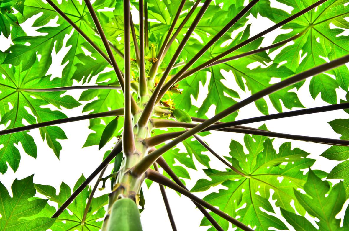 Stablo papaje