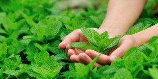 Paprena metvica – ljekovito djelovanje čaja i eteričnog ulja