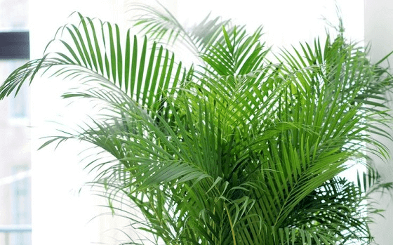 areka-palma