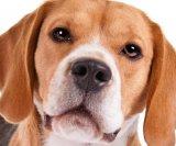dr-beagle