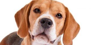 Psi njuhom mogu otkriti rak grlića maternice