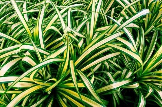 zeleni-ljiljan