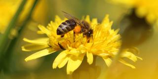 Med od maslačka – kako ga napraviti i za što koristiti?