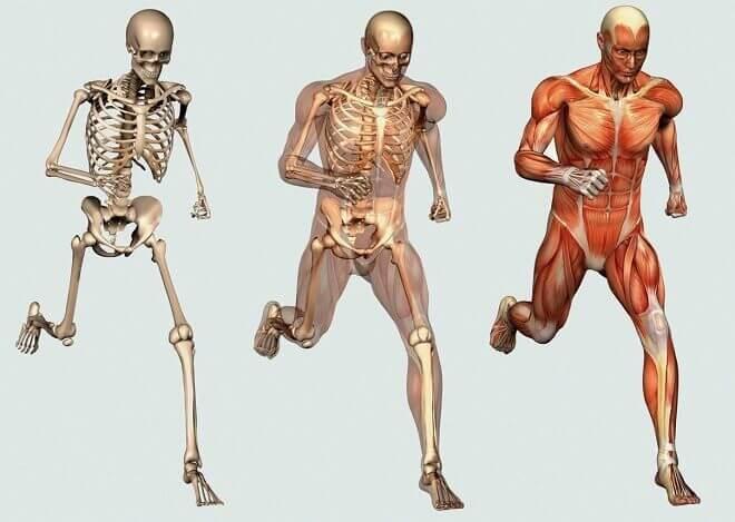 kostur-s-misicima-i-vezivnim-tkivom