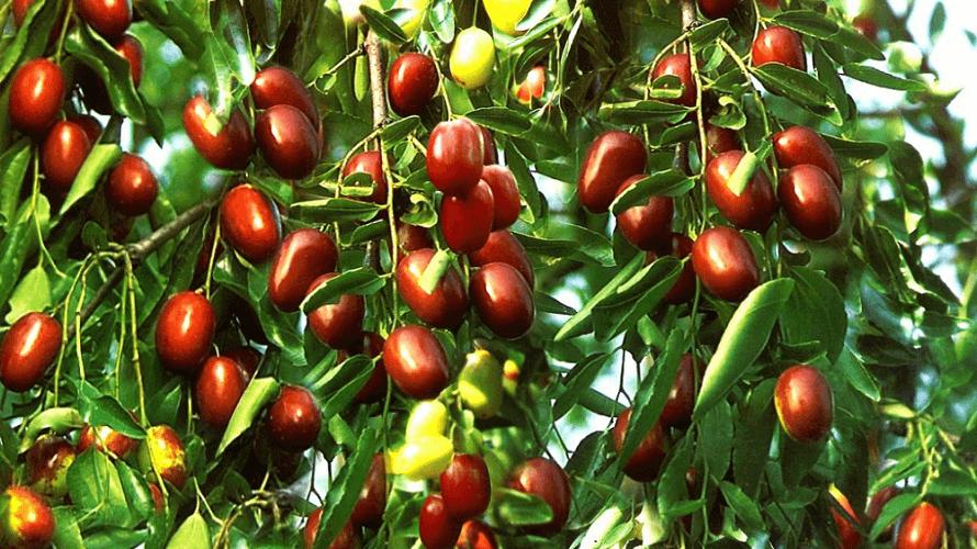 zizula-stablo