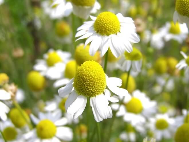 kamilica_cvijet