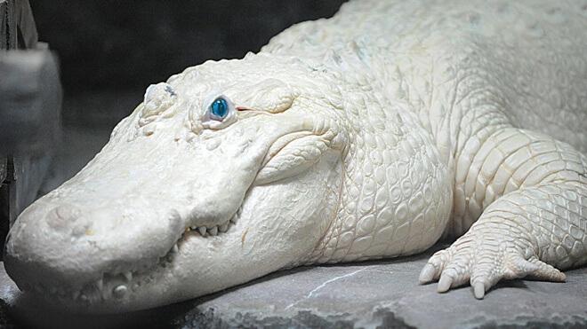 albino aligator
